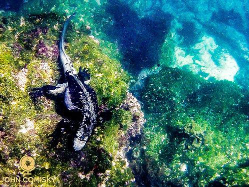 Galapagos - Marine Iguana Feeding Underwater-3