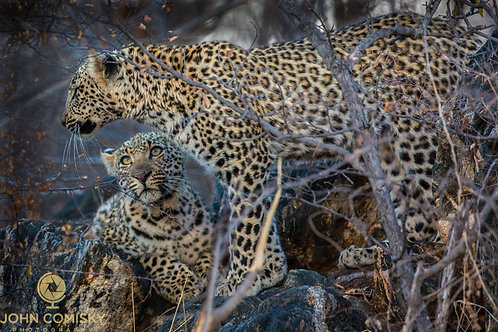 "Leopards ""Siblings"""