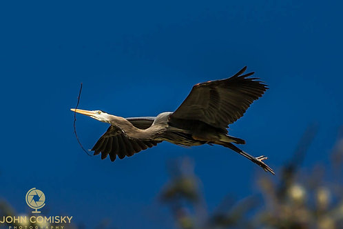 Great Blue Heron with twig