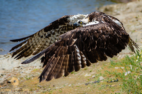 Osprey - On the Wing