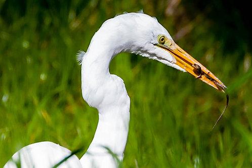 Great Egret with meal