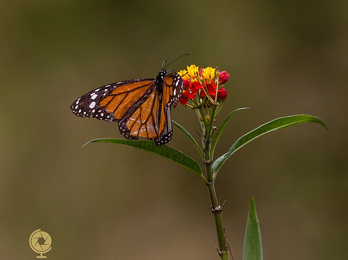 Galapagos - Monarch Butterfly