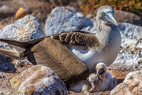 Blue Footed Boobie 6