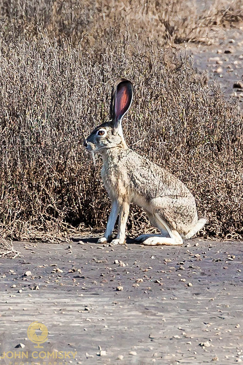 Jackrabbit - You can't see me!