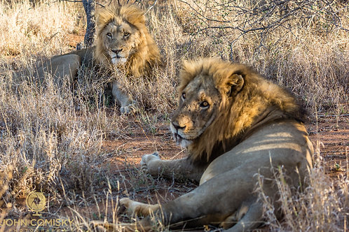 """African Lions """"Brothers"""""""