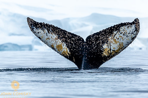 Whale Tail 2 - Antarctica