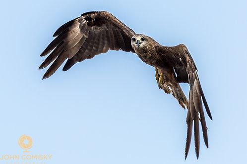 Brown Whistling Kite