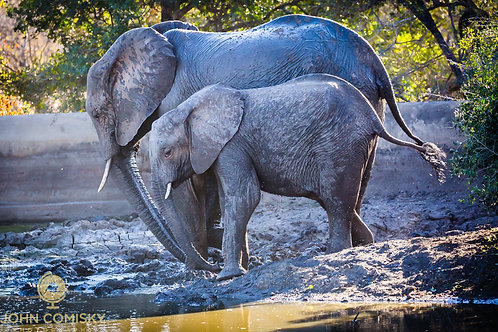 "African Elephants ""In Sync"""