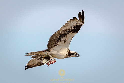 """Take Out""  Osprey"