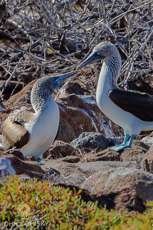 Blue Footed Boobie- Galapagos