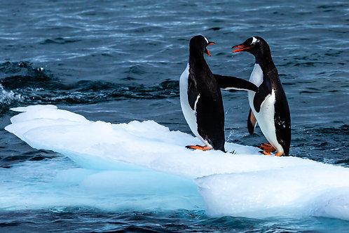 Penguins at play 2