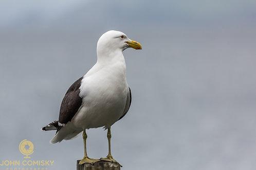 Kelp Gull - Genus Larus