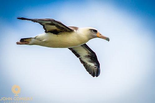Lasan Albatross -  Kauai