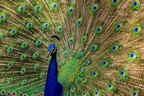 Middle Avenue Peacock