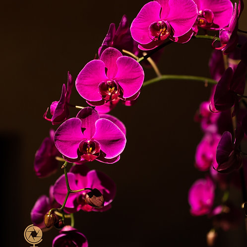 Orchid Light-2