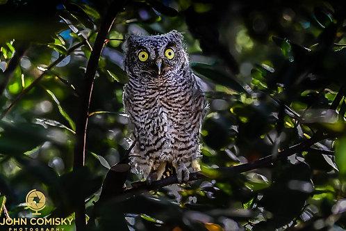 """""""Blending in"""" - Screech Owl"""