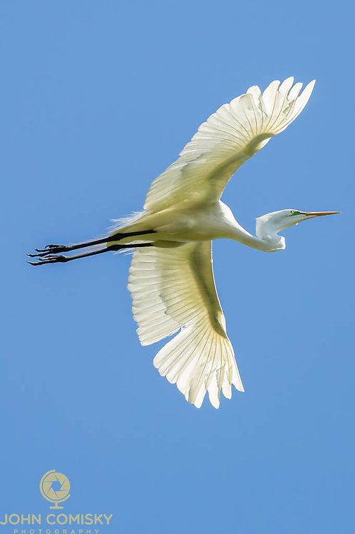 Great Egret - Sunrayed