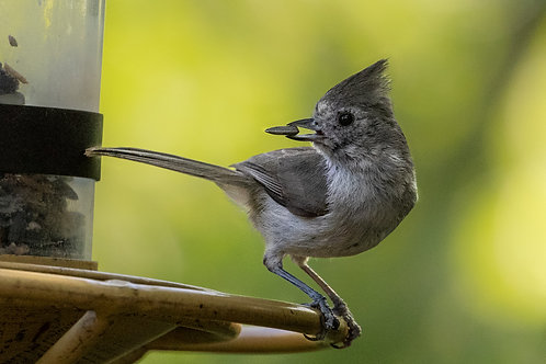 Oak Titmouse at feeder