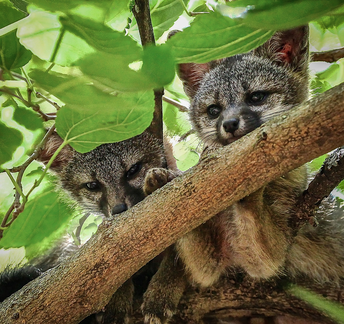 Fox Kits in a Tree.jpg