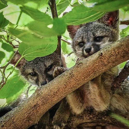 Fox Kits in a Tree