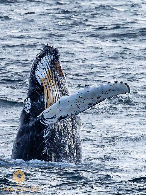 Whale - 2