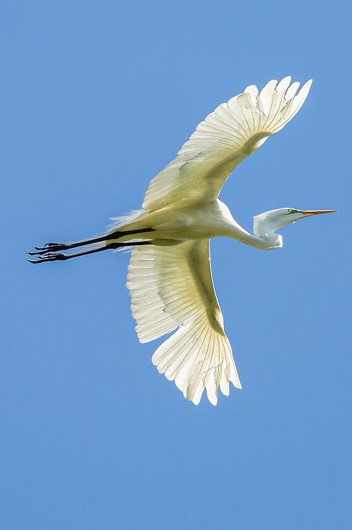 """Sun-rayed""   Great Egret"