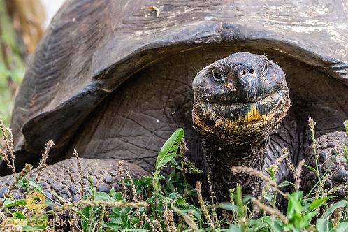 Galapagos - Tortise Bemused