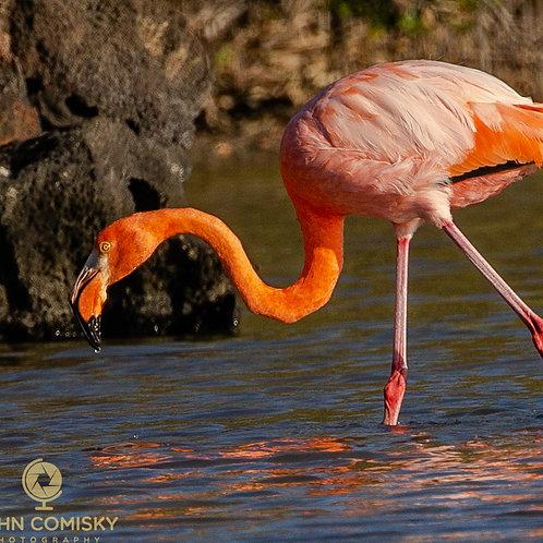 Flamingo - Galapagos