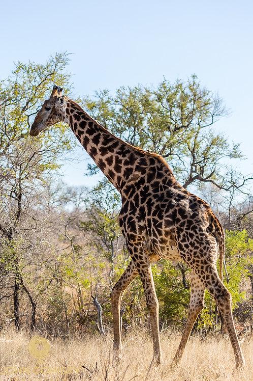"""""""Giraffe"""" - African Giraffe"""