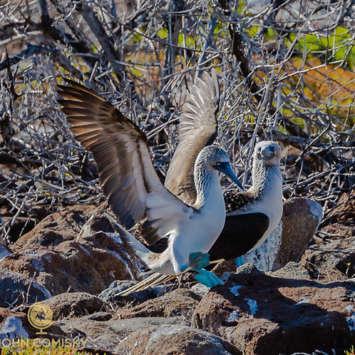 Blue Footed Boobie 7