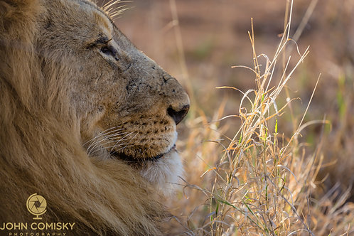 "African Lion ""The Gaze"""