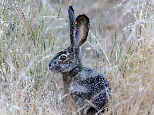 Lake Hennessey Rabbit