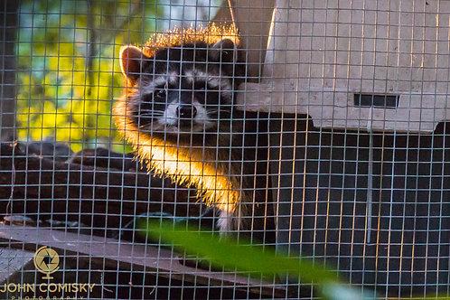 """Racoon Sunset"" - Raccoon in rehab"