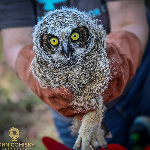 """To be returned"" - Great Horned Owl reunite"