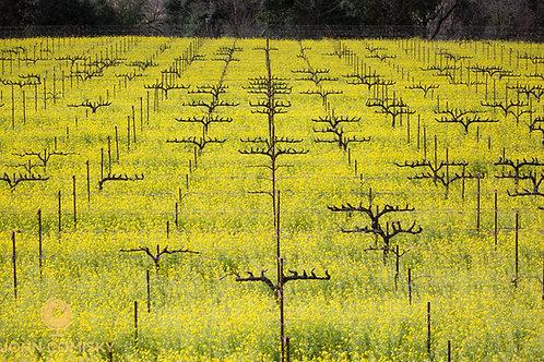Napa - Mustard Season 2