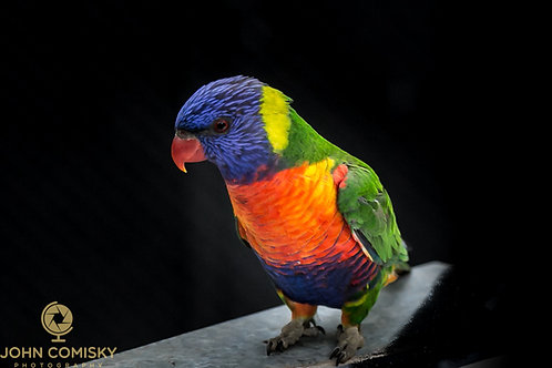 Rainbow Lorikeet - Melborne Australia