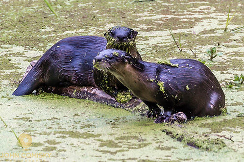 Otters Tulocay