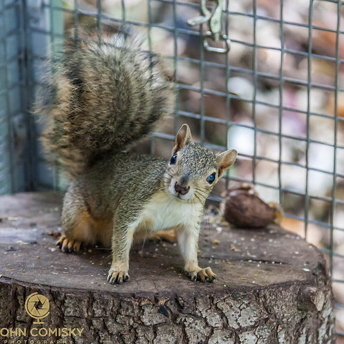 """What?"" - Red Squirrel in Rehab"
