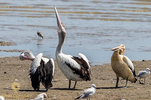 Pelicans - Cairns Australia