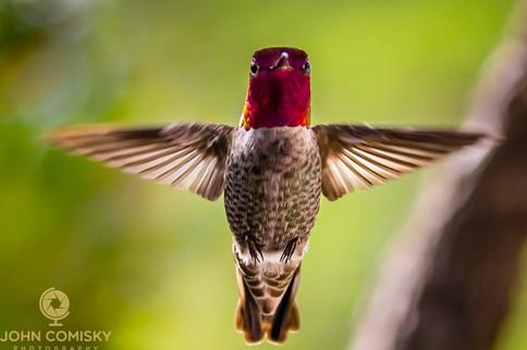 Anna's Hummingbird Straight on-2.jpg