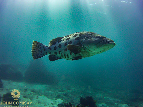 Great Barrier Reef - Potato Cod