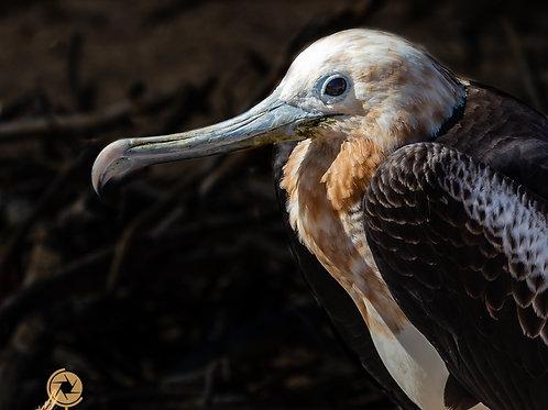 Galapagos - Frigate Bird Juvenile