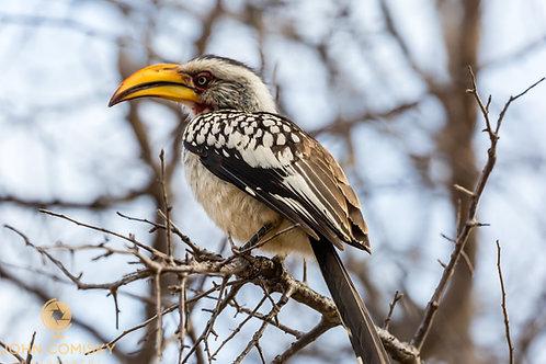 """Hornbill"" - Africa"