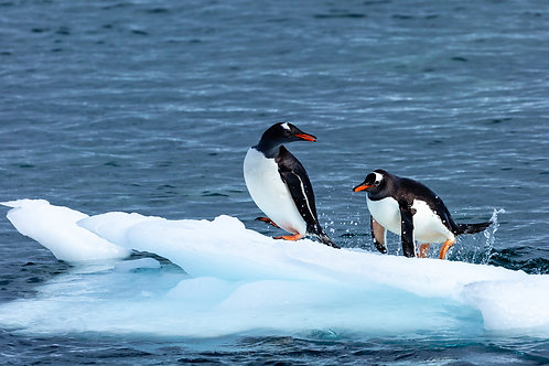 """""""King of the Ice 5"""" - Antarctica"""