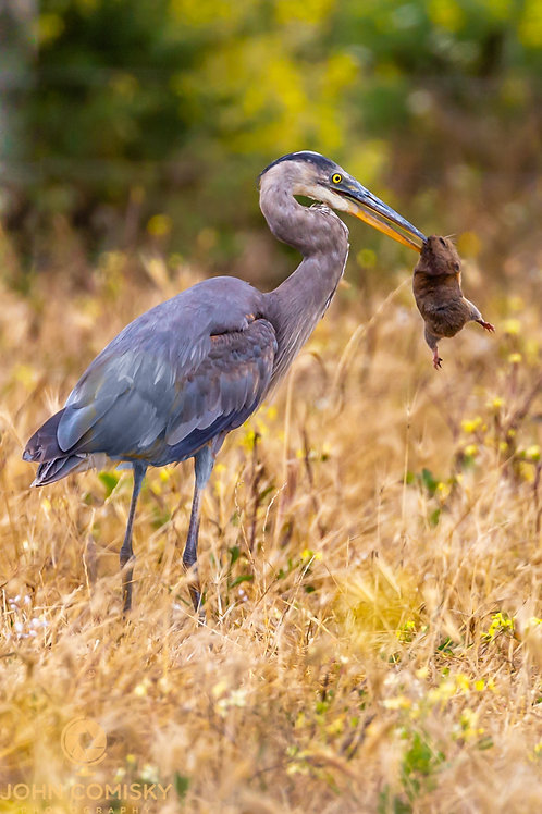 Great Blue Heron with Land Prey