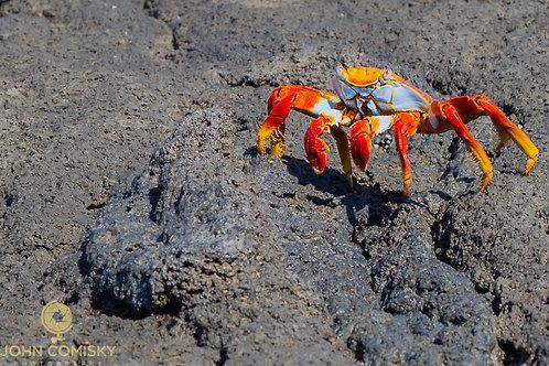 Galapagos - Sally Lightfoot Crab