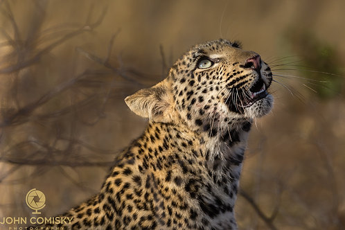 """""""Looking Up"""" - Africa Leopard"""