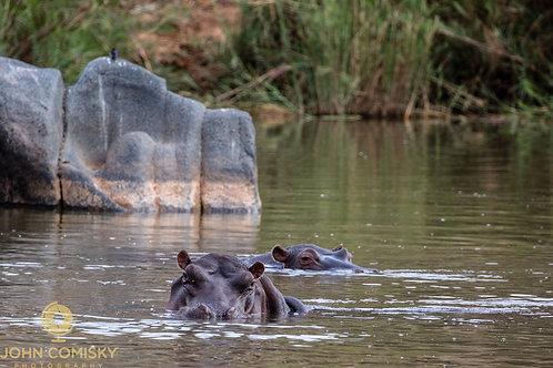 Africa - Hippo 1