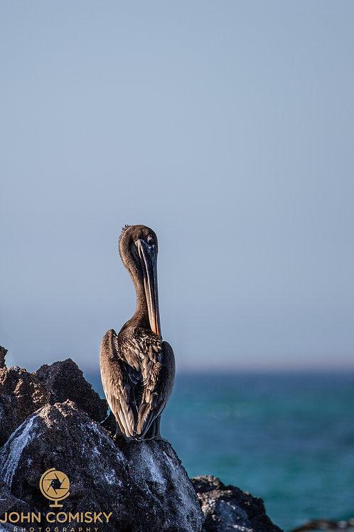 Galapagos - Brown Pelican