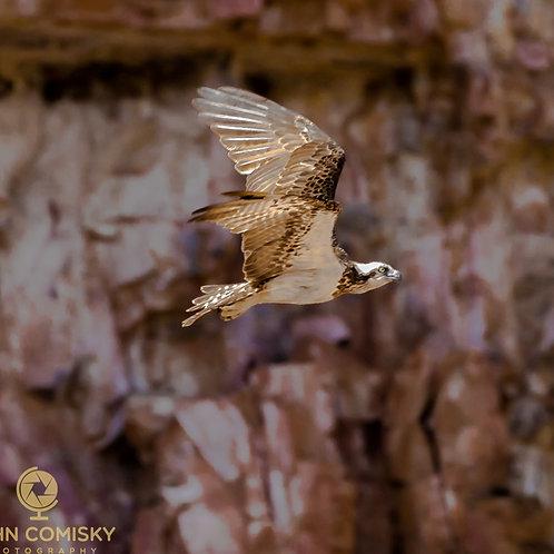 Eastern Osprey - Katherine Australia